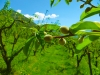 Abricot au printemps dans la plaine de Théus